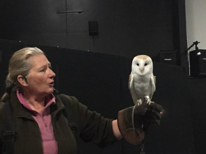 barn owl at the falconry show at milky way