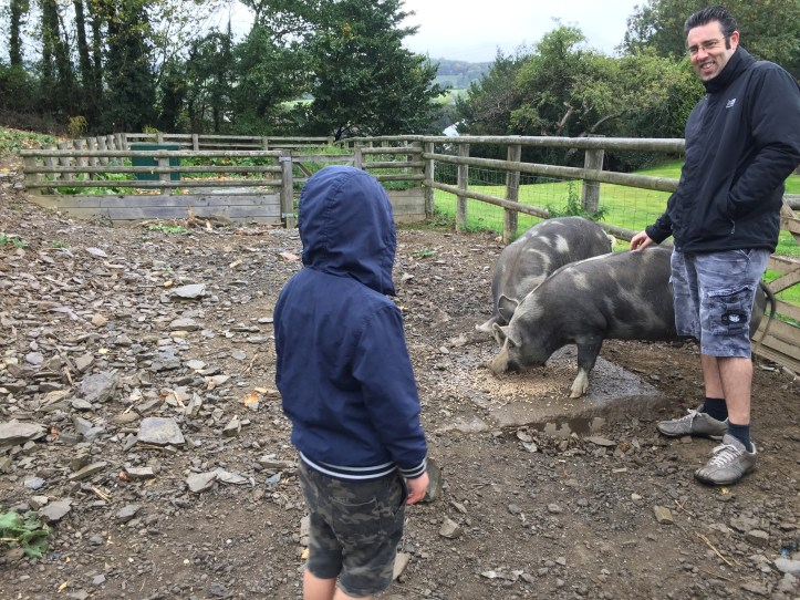 The pigs on Parkers farm in Devon