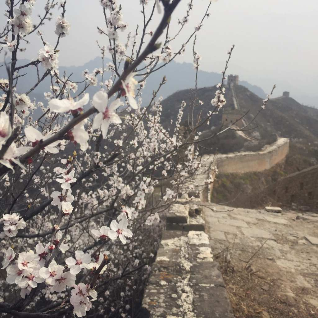 Cherry Blossoms in Beijing Great Wall of China