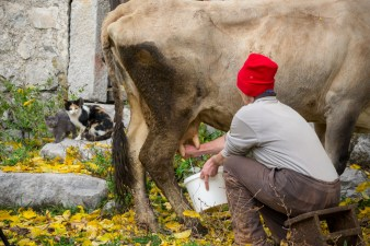 Milking a cow before making lisnati cheese in Lipovo Village