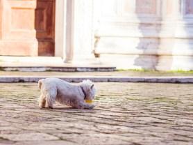 Tiny White Dog Plays Fetch