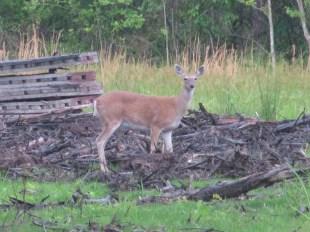 A deer enjoys the abandoned cabins