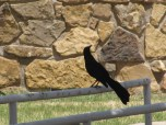 Attack Raven
