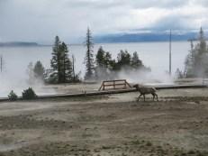 Elk at the Lower Basin