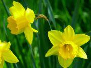 Daffodil   flower name in english and hindi