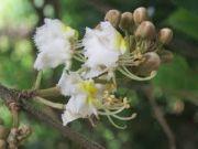 Hiptage   flowers name