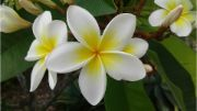 frangipani   flowers name