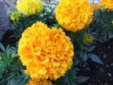 marigold   flower name in english hindi