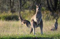 kangaroo jangli janwar