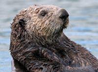 Otter jangli janwar in hindi