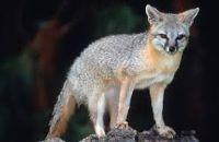 fox jangli janwar