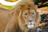 lion a wild animal