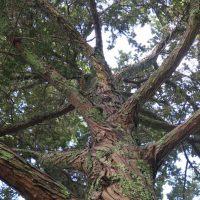 Tōtara - Podocarpus totara