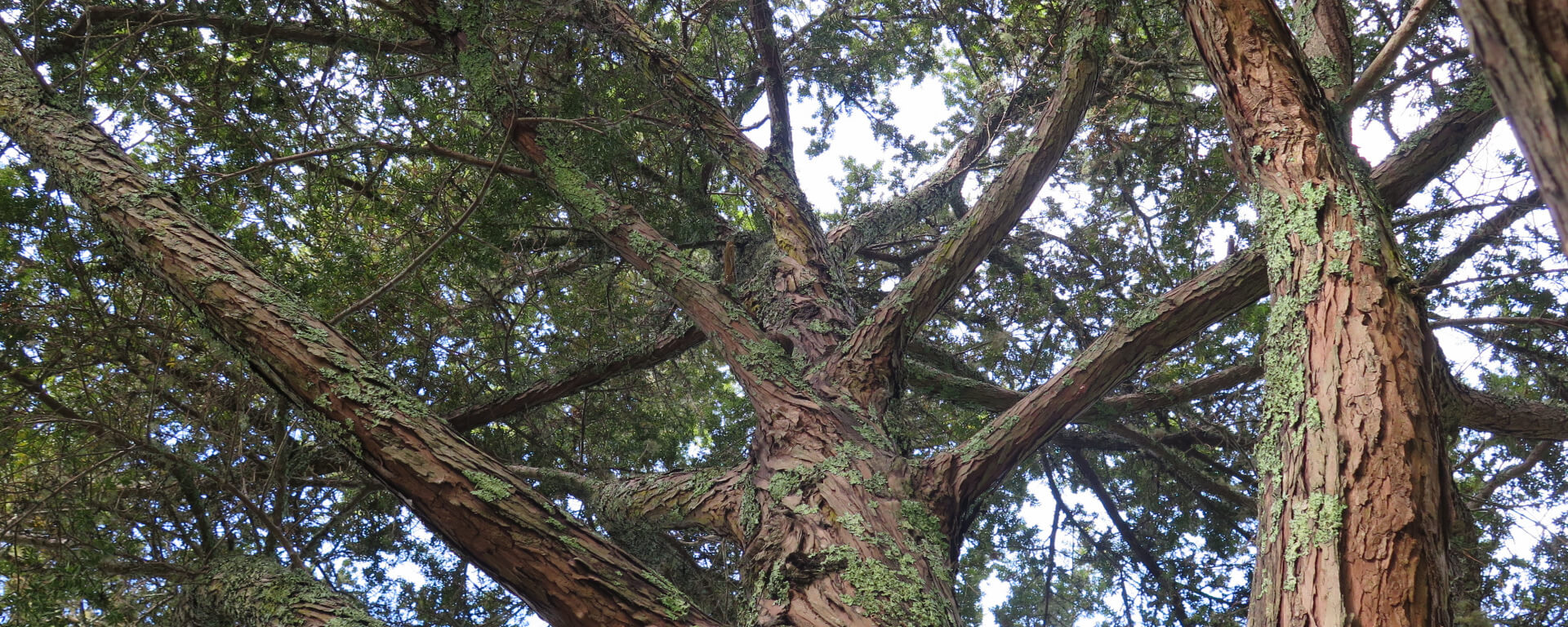 """gardening with new zealand plants shrubs and trees""; Tōtara Podocarpus Totara The Meaning Of Trees"