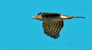 Coopers Hawk, Croton Point Park. Photo by Dave Baker.