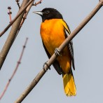 Baltimore Oriole. Photo by Alan Wells.