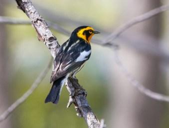 Blackburnian Warbler. Photo by Bill Fiero.