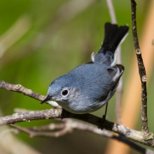 Blue–Gray Gnatcatcher. Photo by Alan Wells.
