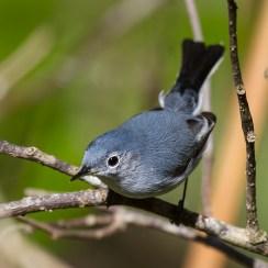 Blue–Gray Gnatcatcher. Photo by Alan Wells.