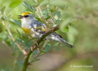 """Brewster's"" Warbler. Photo by Ken Kijewski."