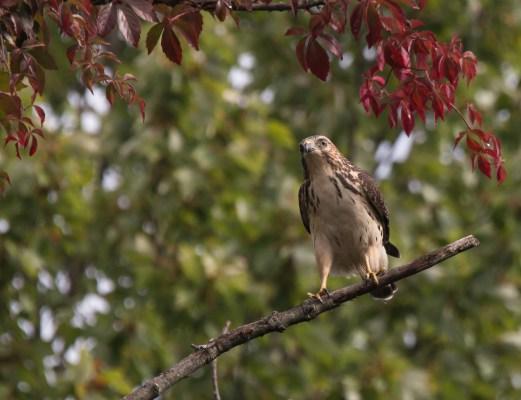 Broad-winged Hawk. Photo by Bill Fiero.