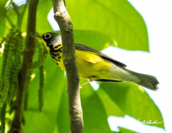 Canada Warbler. Photo by Dave Baker.