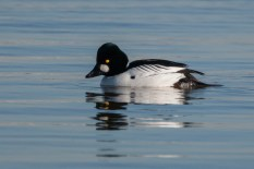 Common Goldeneye. Photo by Alan Wells.