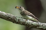 Eastern Wood Pewee. Photo by Dave Baker.