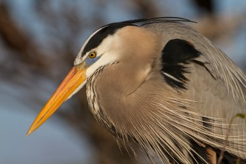 Great Blue Heron. Photo by Alan Wells.