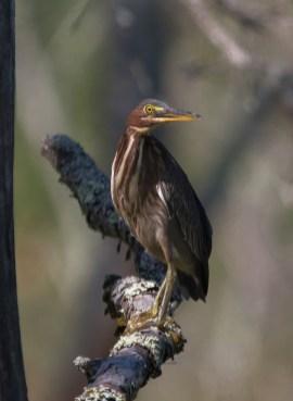 Green Heron. Photo by Bill Fiero.