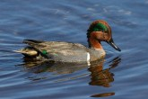 Green-Winged Teal. Photo by Alan Wells.