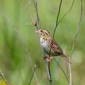 Henslow's Sparrow. Photo by Alan Wells.
