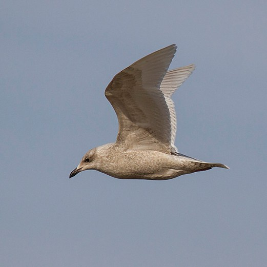 Iceland Gull. Photo by Alan Wells.