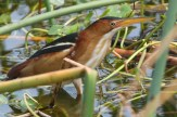 Least Bittern. Photo by Alan Wells.