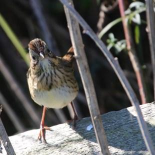 Lincoln's Sparrow. Photo by Karen Miller.