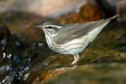 """Louisiana Waterthrush. Photo by Alan Wells. """"Even a casual allusion to this little bird recalls...a bright picture of clear mountain streams, with their falls and eddies, their dams of rocks and fallen tree-trunks, their level stretches flowing over bright, pebbly bottoms, with mossy banks and rocky ferneries, and their darting minnows and dace."""" —EA Mearns"""