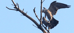 Mississippi Kites. Photo by Jeff Goulding.