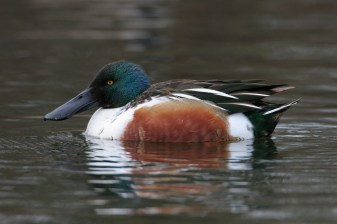 Northern Shoveler. Photo by Alan Wells.