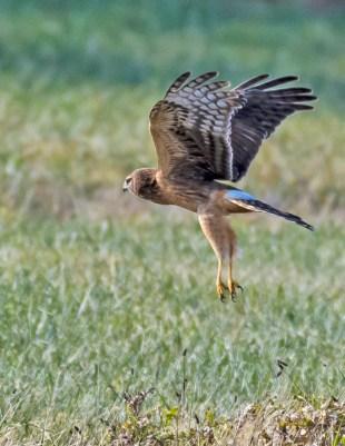 Northern Harrier, Skinner's Lane. Photo by Dave Baker.