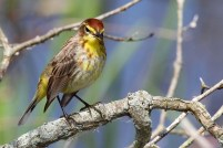 Palm Warbler. Photo by Alan Wells.