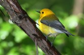 Prothonotary Warbler. Photo by Alan Wells.