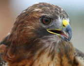 Red-tailed Hawk. Photo by Alan Wells.