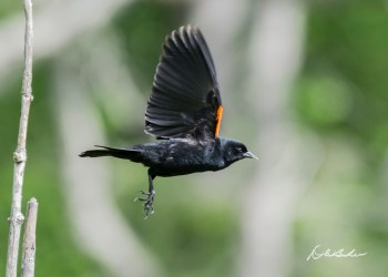 Red-winged Blackbird. Photo by Dave Baker.