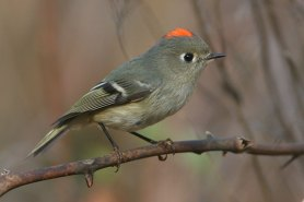 Ruby-crowned Kinglet. Photo by Alan Wells.