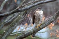 Sharp-shinned Hawk. Photo by Carlotta Shearson.