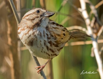 Song Sparrow. Photo by Dave Baker.