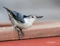 White-breasted Nuthatch. Photo by Dave Baker.