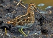 Wilson's Snipe. Photo by Lee Hunter.