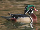 Wood Duck. Photo by Alan Wells.