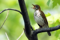 Wood Thrush. Photo by Alan Wells.